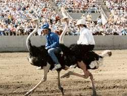 Ostrich race in Arizona