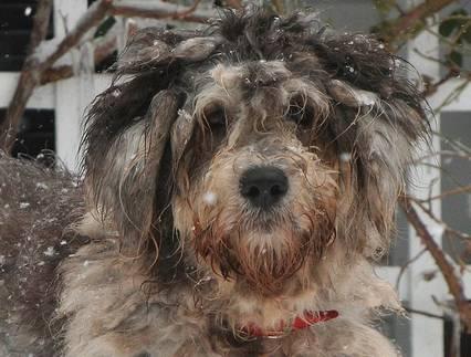Italian sheep dog Bergamasco