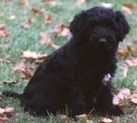Bergamasco pup