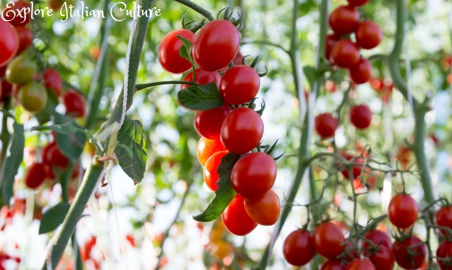 Tomatoes growing in an Italian garden.