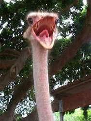Ostrich at Coliseum