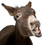 Donkeys speak Italian