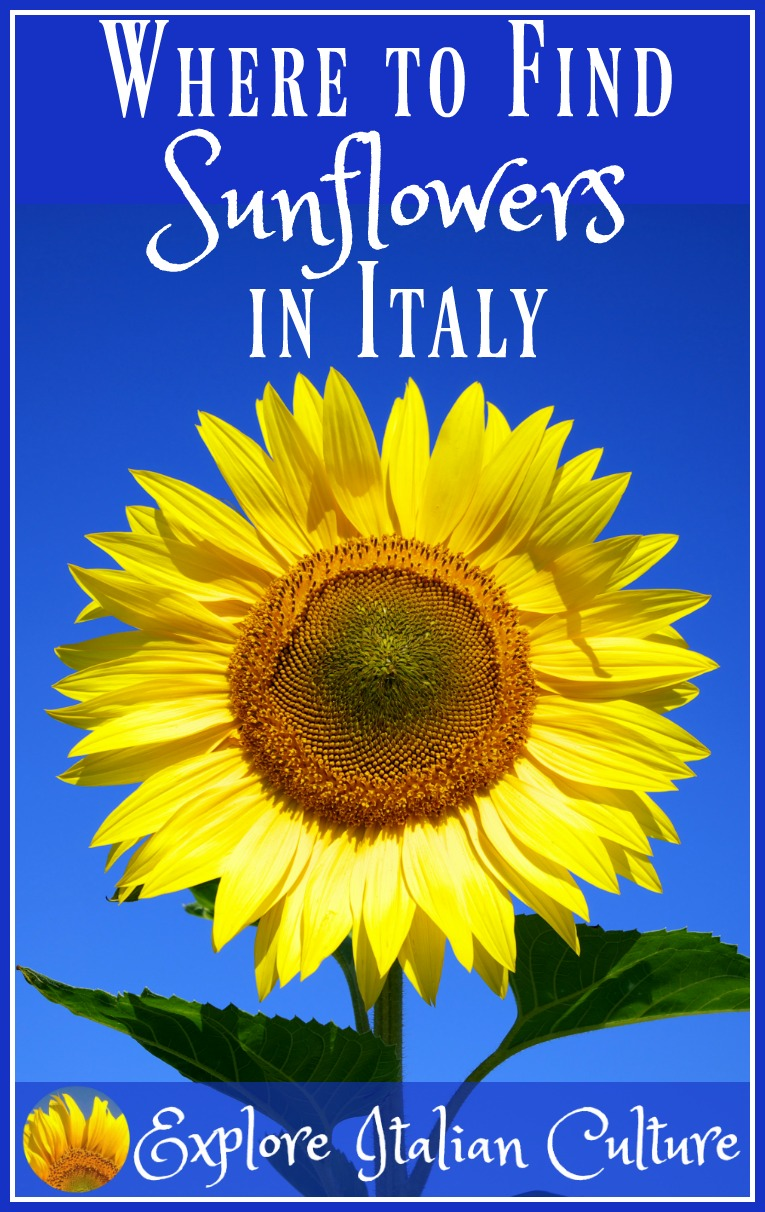 Where and when to find sunflowers in Italy.