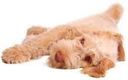 Italian dog breed