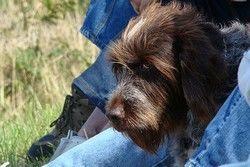 Italian Spinone dog