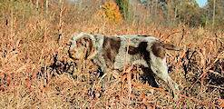 Italian hunting dog