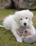 Maremma dog pup