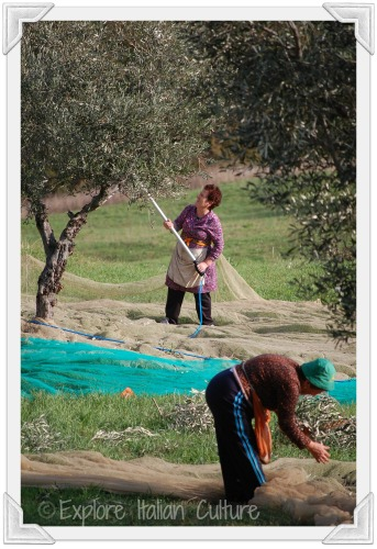 Olive picking in Le Marche