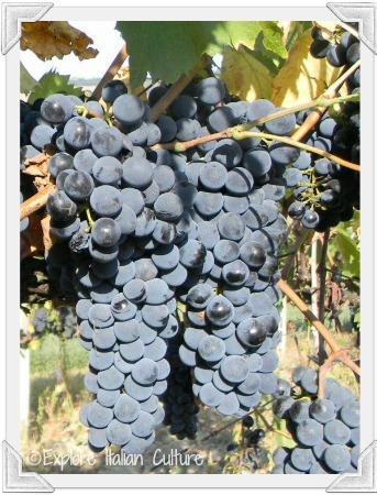 Delicious Italian grapes - we pick them!