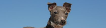 Miniature Italian greyhound
