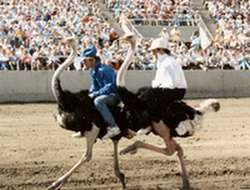 Ostrich race in Arizona