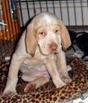 Spinone Italiano pup
