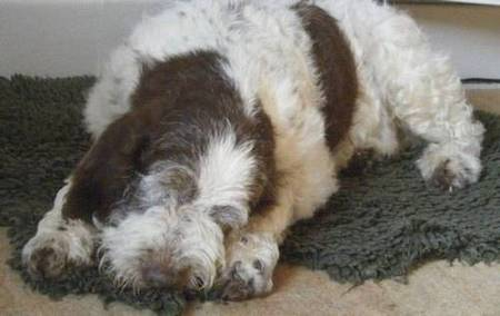 Dog Rescue Italian Spinone