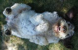 Ellie, Spinone rescue dog