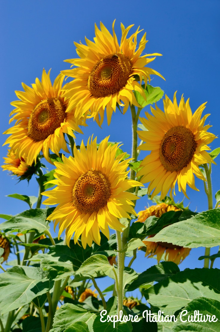 Sunflowers against a blue sky.