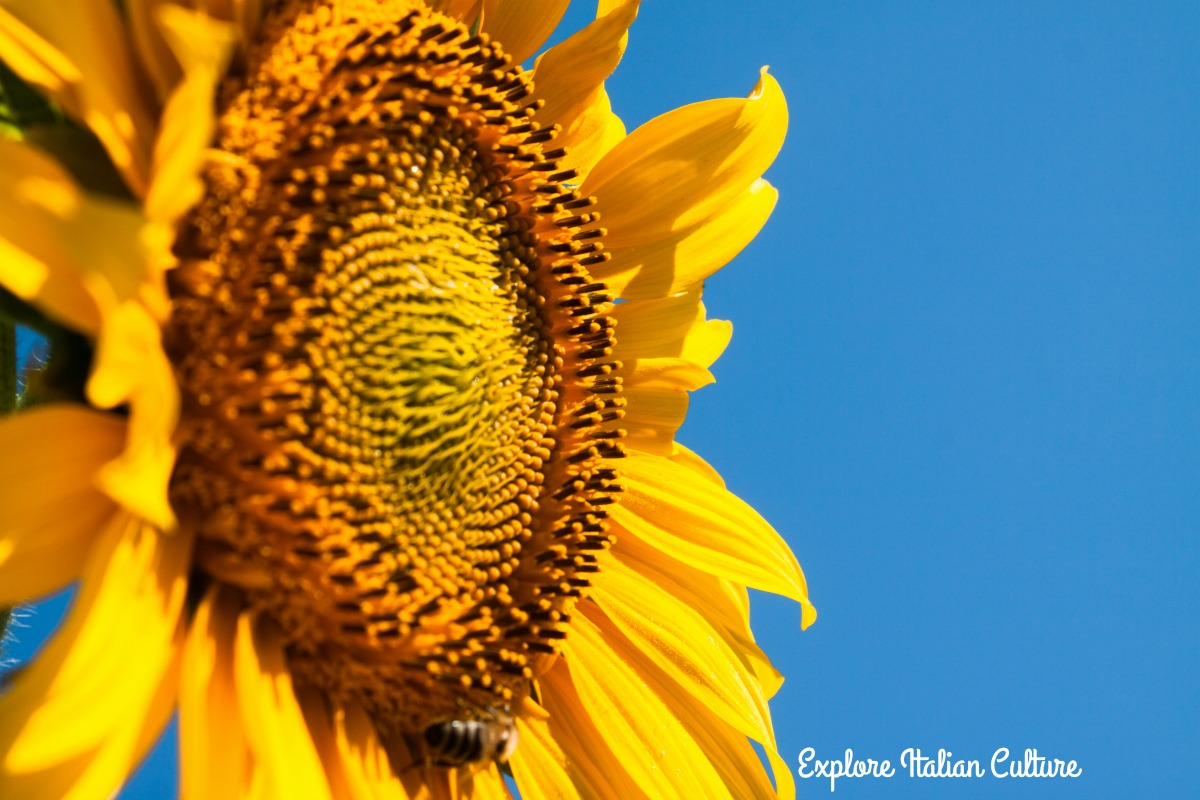 Sunflower against blue sky.