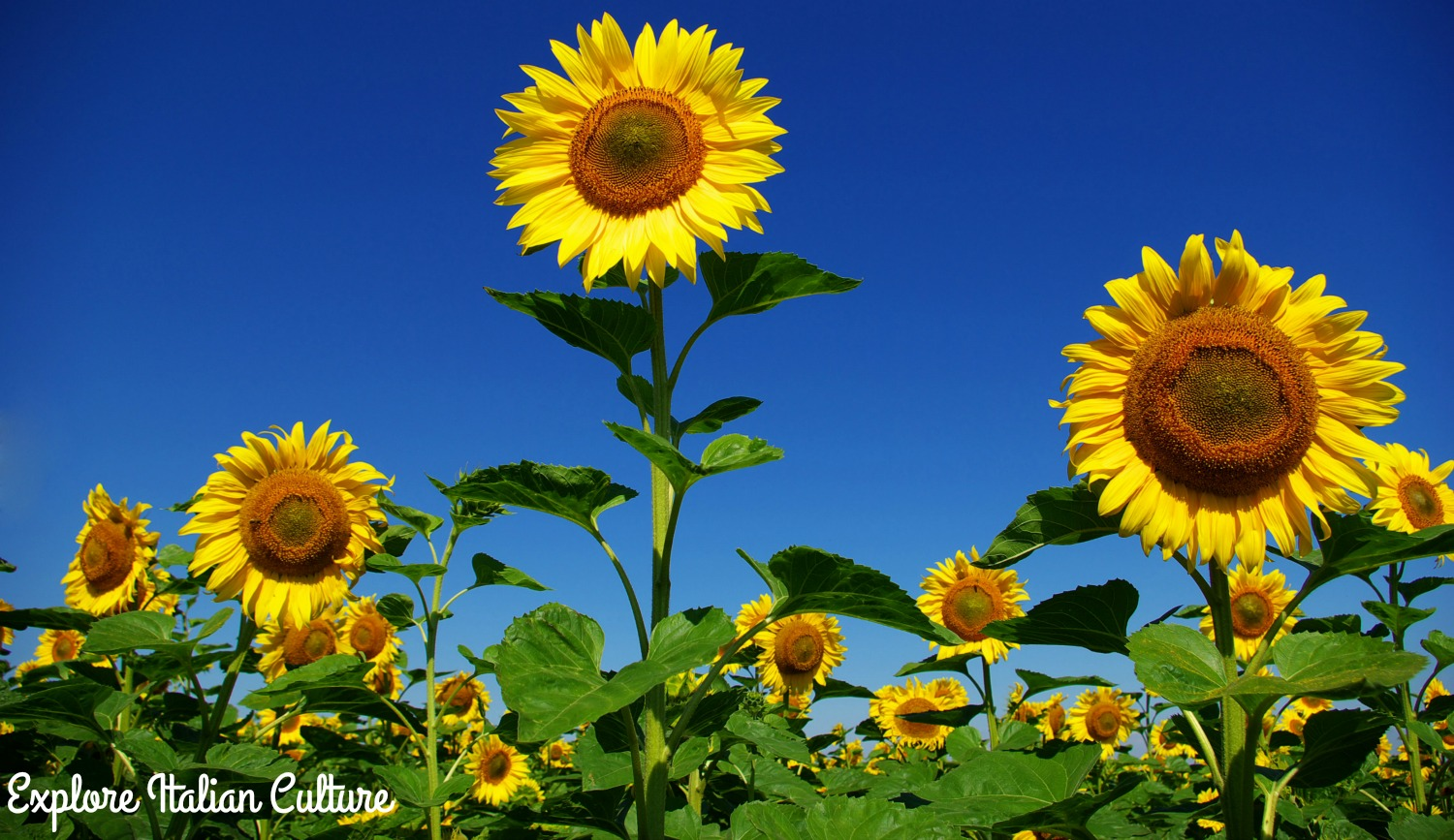 Sunflowers against blue sky.