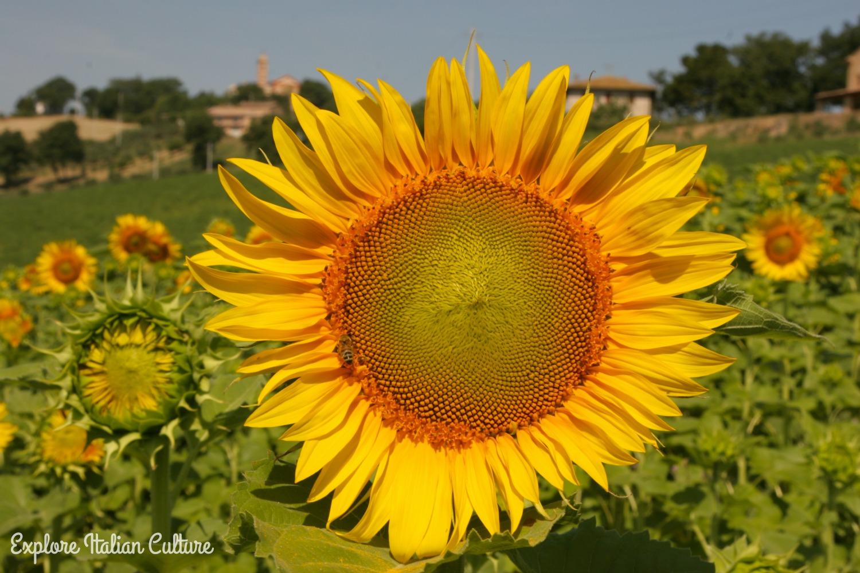 Sunflower in field.