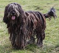 Bergamasco dog