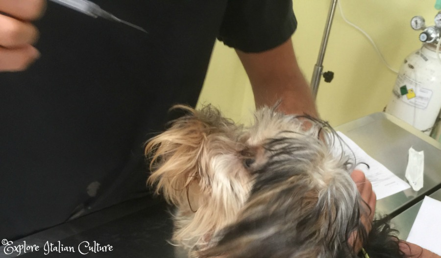 Our Yorkshire Terrier has her first rabies shot.