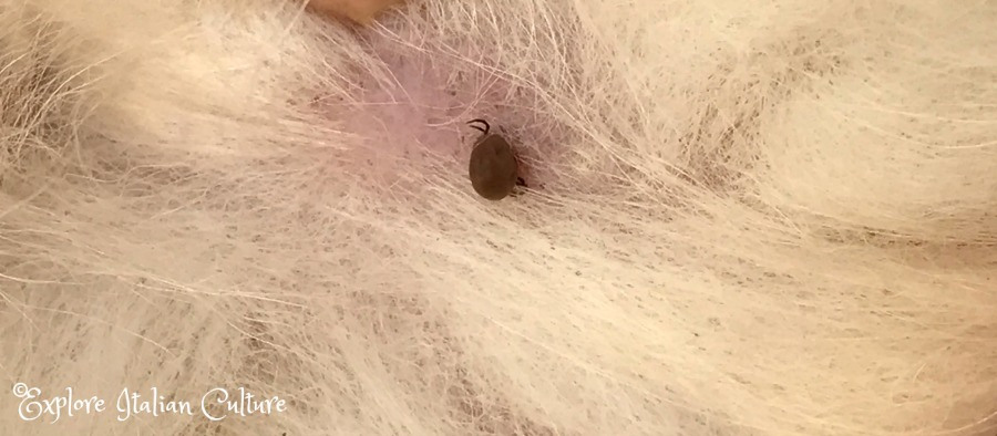 A dog tick embedded into the skin. Never try to remove it in any way apart from taking out the head.