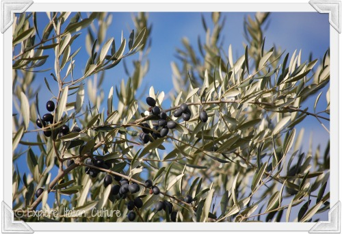 Olives are a part of the healthy Mediterranean diet