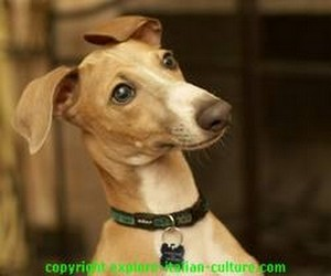 Italian greyhound dog