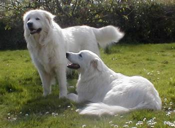 The Italian Sheep Dog Temperament And Care A Dog Breed Selector