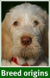 Where the Spinone came from and what it means for you.