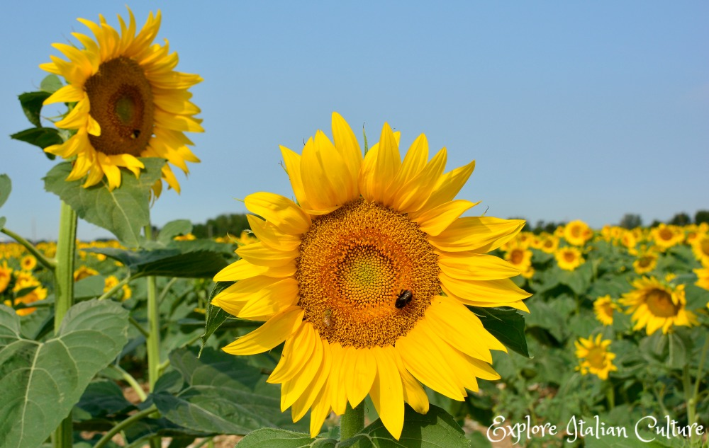 Sunflowers: one of the major crops in the rural region of Le Marche, Italy.