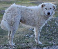 Maremma dog