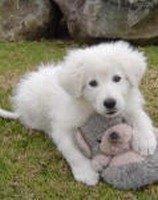 Italian sheepdog