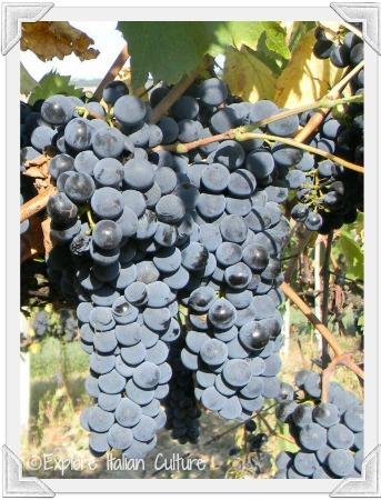 Delicious Italian grapes - we pick them!