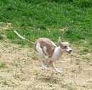 Mini greyhound running