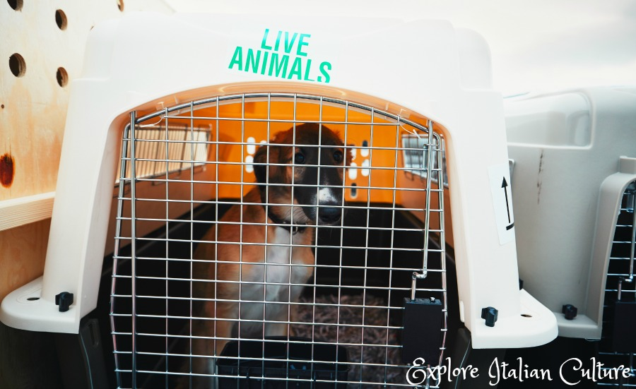 An animal carried in a crate must be comfortably able to sit, stand and turn around.