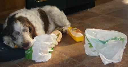 Spinone rescue dog