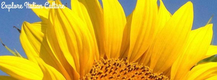 Sunflower petals.