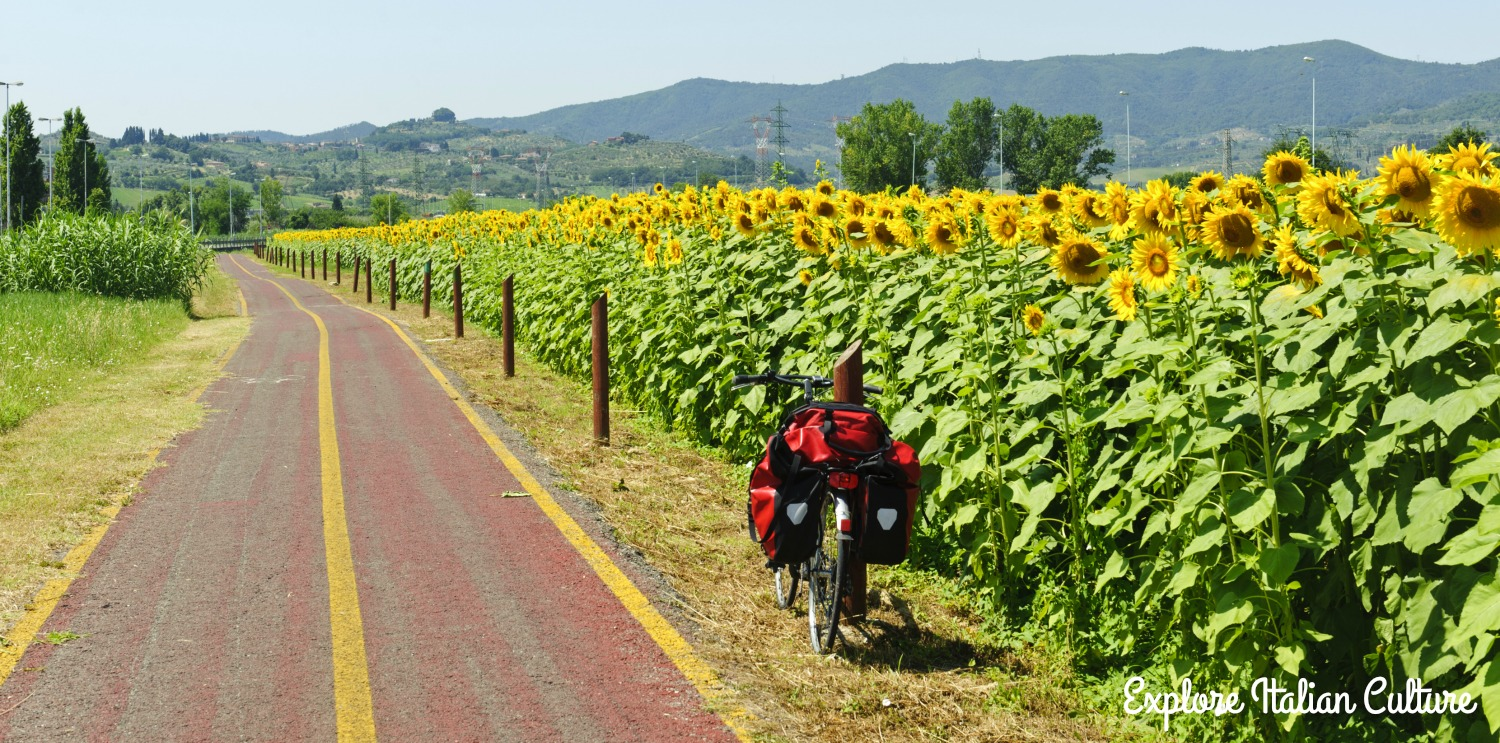 Sunflowers next to a cycle path.